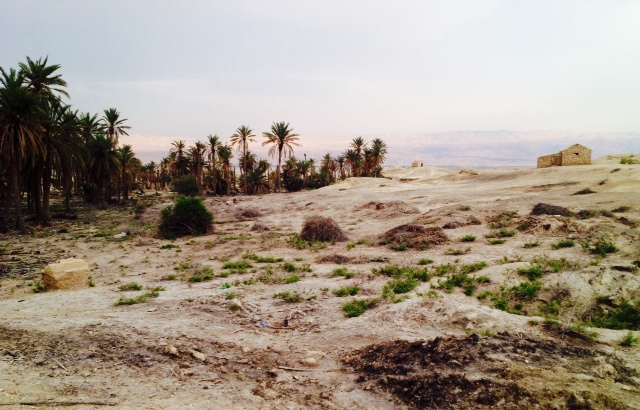 Our date palm tree grove, with the Gilead Mountains of the Jordan in the background